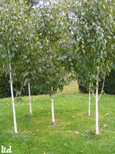 La plantation en quinconce - Plantation arbre en motte ...